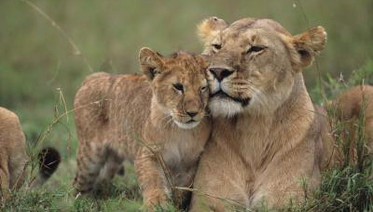 lionscub